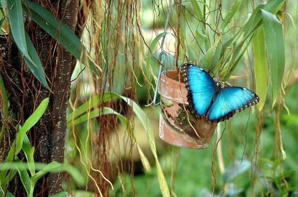 blue-morpho-1674100_640